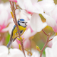 Blue tit bird in a Magnolia tree - PhotoDune Item for Sale