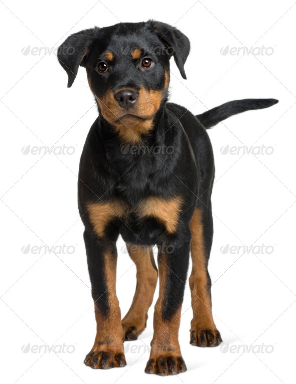 Rottweiler puppy, 3 months old, standing in front of white background - Stock Photo - Images