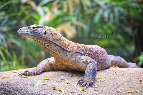 Komodo dragon, Varanus Komodoensis - Stock Photo - Images