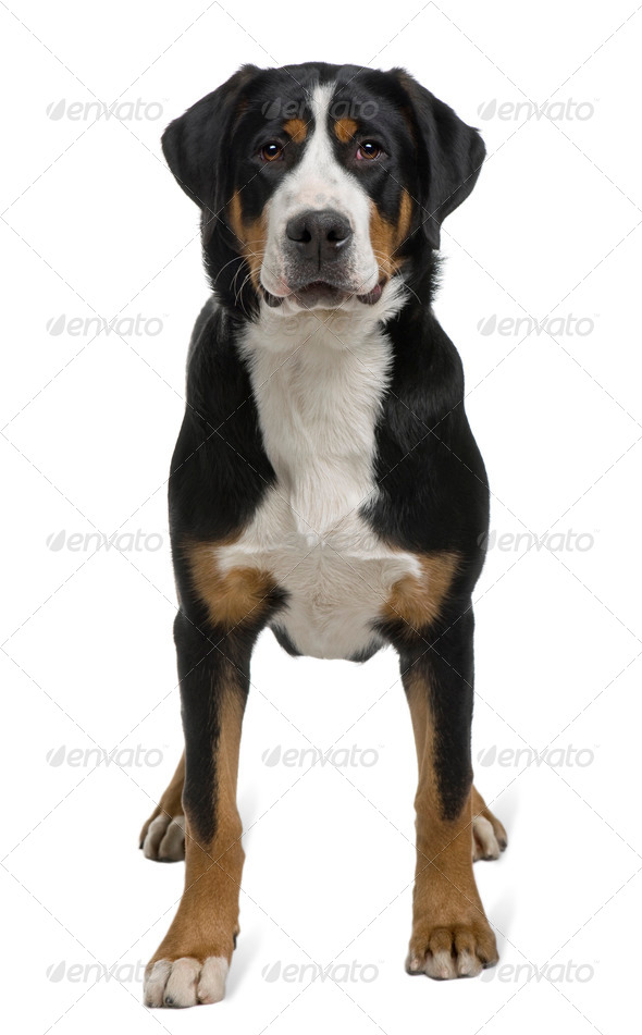 Greater Swiss Mountain Dog, 2 years old, standing in front of white background - Stock Photo - Images