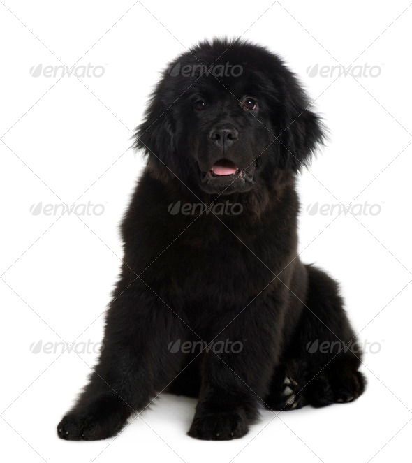 Newfoundland puppy, 4 Months old, sitting in front of white background - Stock Photo - Images