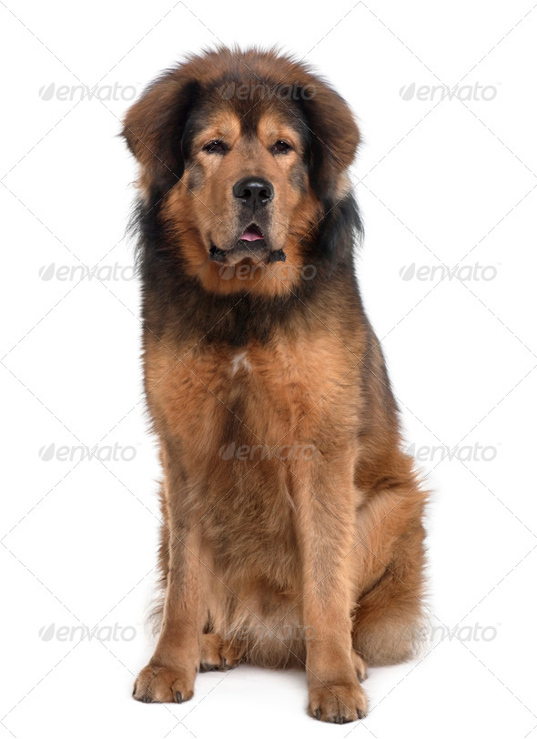 Tibetan mastiff, 3 years old, sitting in front of white background - Stock Photo - Images