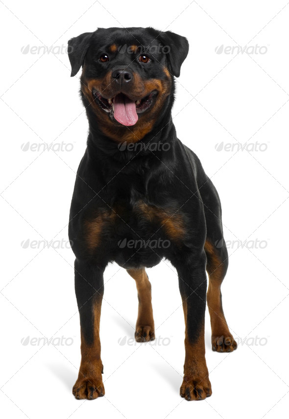 Rottweiler, 2 years old, standing in front of white background - Stock Photo - Images