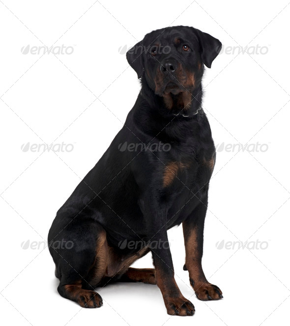 Rottweiler, 2 years old, sitting in front of white background - Stock Photo - Images