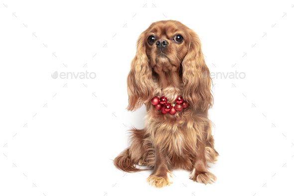 Dog with Christmas necklace isolated on white background - Stock Photo - Images