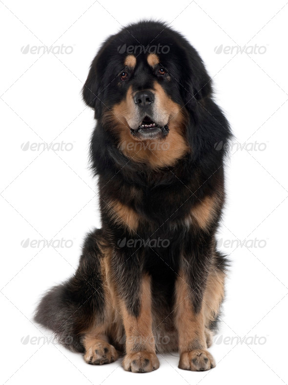 Tibetan mastiff dog, 4 years old, sitting in front of white background - Stock Photo - Images