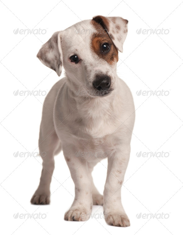 Jack Russell terrier, 4 months old, standing in front of white background - Stock Photo - Images