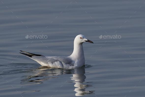 Slender-billed gull (Chroicocephalus genei) - Stock Photo - Images
