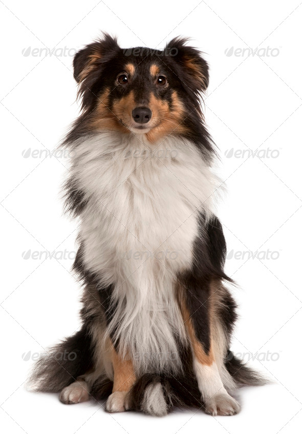 Shetland Sheepdog, 2 years old, sitting in front of white background - Stock Photo - Images