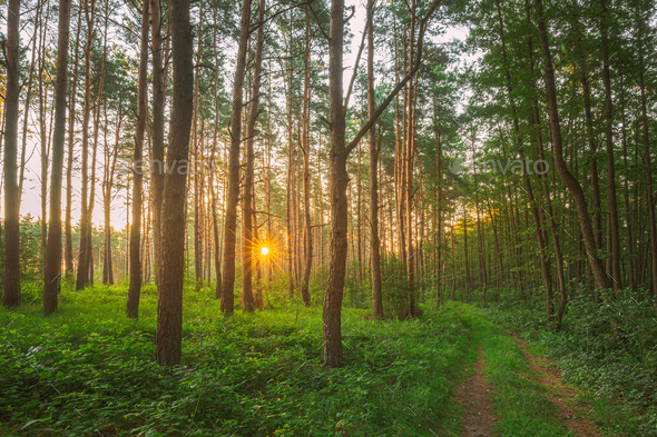 Road, Path, Walkway Through Sunny Forest. Sunset Sunrise In Summer Coniferous Forest Trees. Pine - Stock Photo - Images