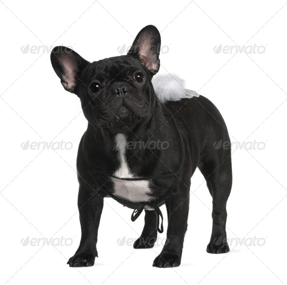 French Bull dog, 1 year old, standing in front of white background - Stock Photo - Images