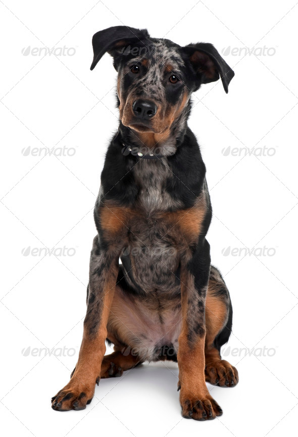 Beauceron dog, 5 months old, sitting in front of white background - Stock Photo - Images