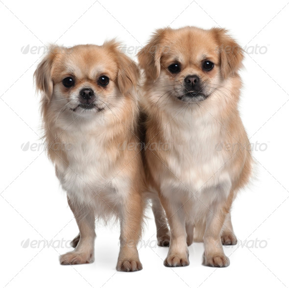 Two Tibet Spaniels, 2 Years Old, standing in front of white background - Stock Photo - Images