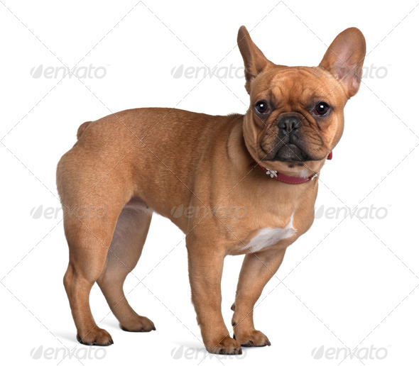 French Bulldog, 7 Months Old, standing in front of white background - Stock Photo - Images