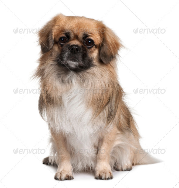 Teckel Spaniel, 3 Years Old, sitting in front of white background - Stock Photo - Images