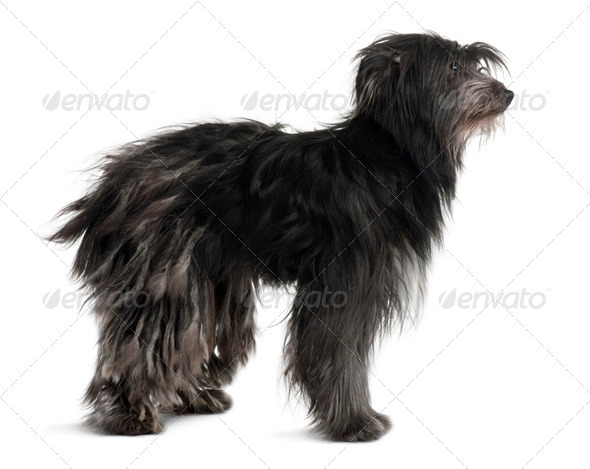 Pyrenean Shepherd, 2 Years Old, standing in front of white background - Stock Photo - Images