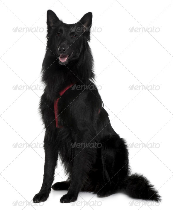 Belgian Shepherd dog sitting in front of white background, studio shot - Stock Photo - Images