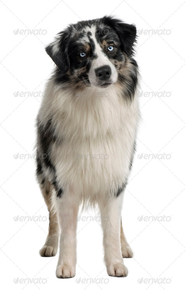Australian Shepherd dog, 14 Months Old, sitting in front of white background - Stock Photo - Images