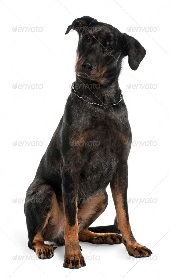 Beauceron dog, 10 Months Old, sitting in front of white background - Stock Photo - Images