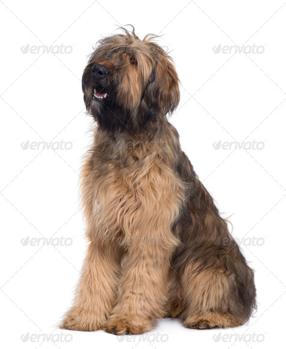 Briard dog, 9 Months Old, sitting in front of white background - Stock Photo - Images