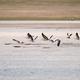bar-headed goose on plateau - PhotoDune Item for Sale