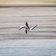 bar-headed goose in flight - PhotoDune Item for Sale