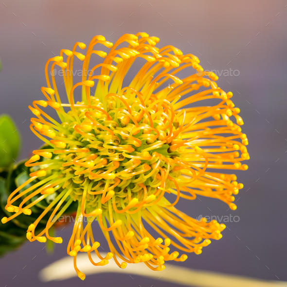 Leucospermum nutans High Gold - Stock Photo - Images