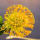 Leucospermum nutans High Gold - PhotoDune Item for Sale