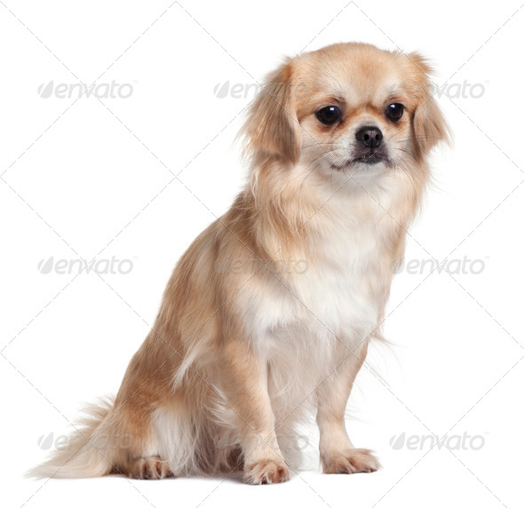 Tibet Spaniel, 2 Years Old, sitting in front of white background - Stock Photo - Images