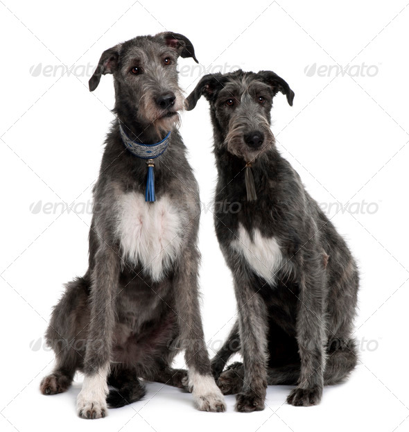 Two Irish Wolfhounds sitting in front of white background - Stock Photo - Images