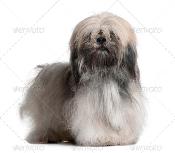 Lhassa Apso, 18 Months Old, in front of white background - Stock Photo - Images