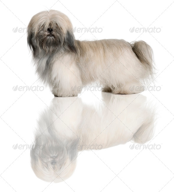 Lhasa Apso, 18 Months Old, standing in front of white background - Stock Photo - Images