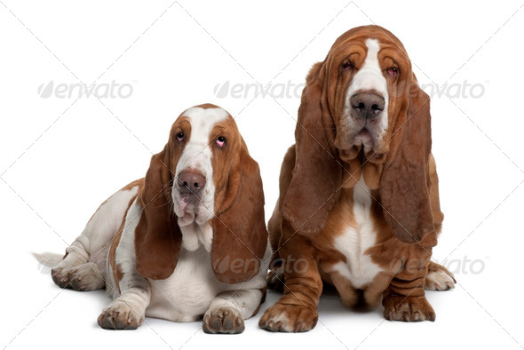 Two Basset Hounds, 2 years old, sitting in front of white background - Stock Photo - Images