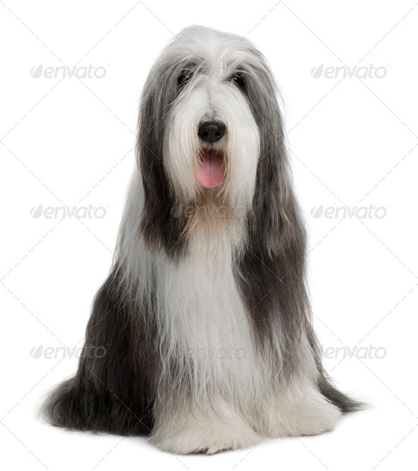 Bearded Collie, 4 years old, sitting in front of white background - Stock Photo - Images