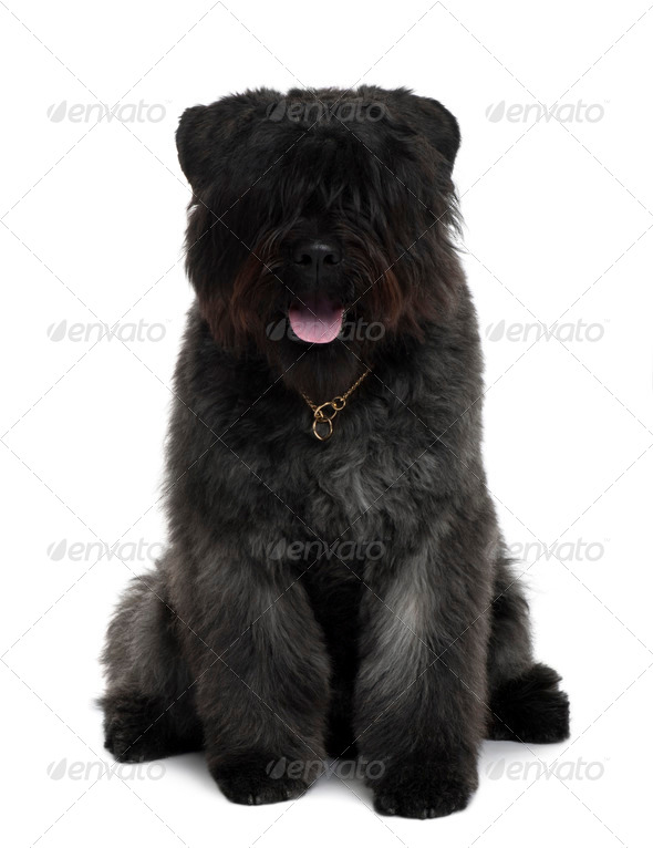 Bouvier des Flandres dog sitting in front of white background - Stock Photo - Images