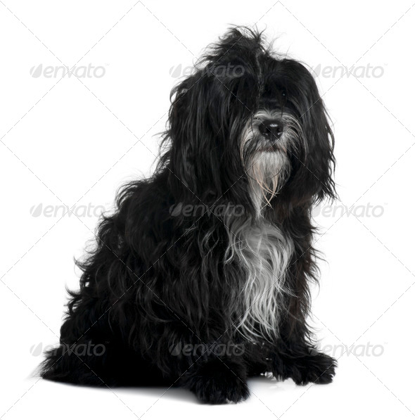 Tibetan terrier, 5 years old, sitting in front of white background - Stock Photo - Images