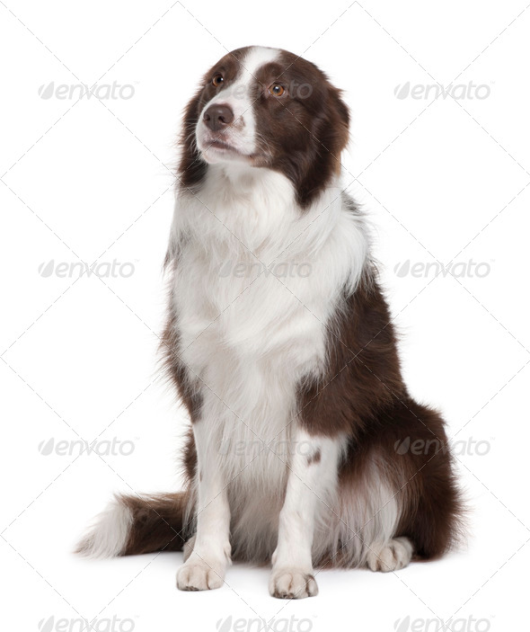 Border Collie, 5 Years Old, sitting in front of white background - Stock Photo - Images