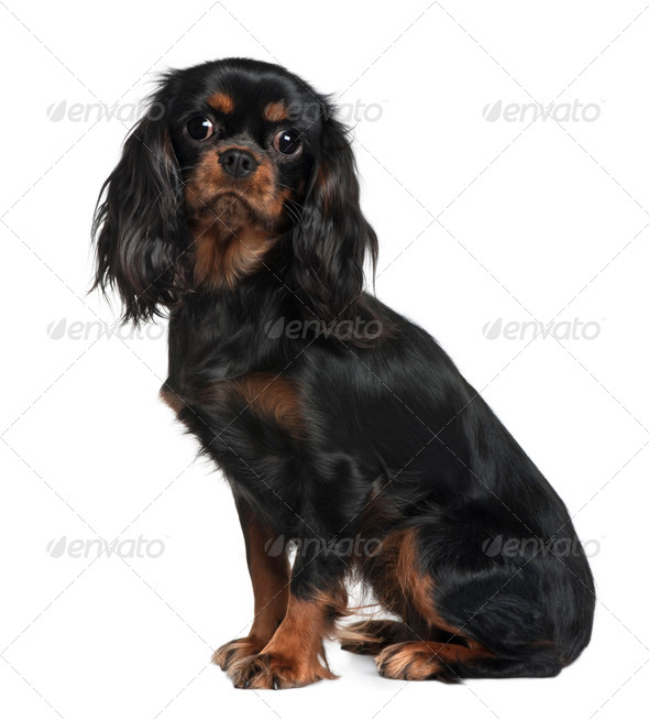 Cavalier King Charles, 9 Months Old, sitting in front of white background - Stock Photo - Images