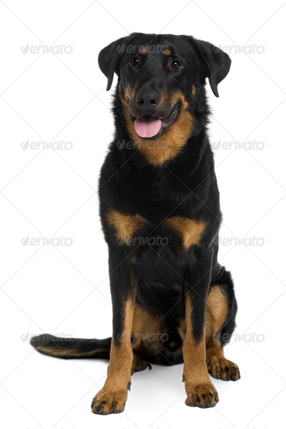 Beauceron sitting and panting in front of a white background - Stock Photo - Images