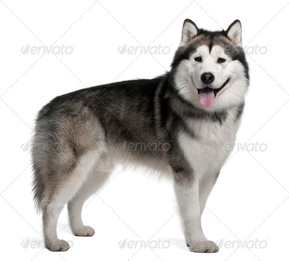 Alaskan malamute, 19 months old, standing in front of white background - Stock Photo - Images