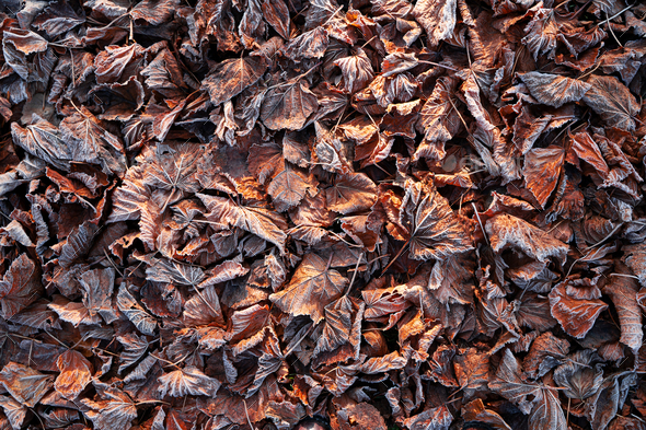 texture of brown leaves frozen - Stock Photo - Images