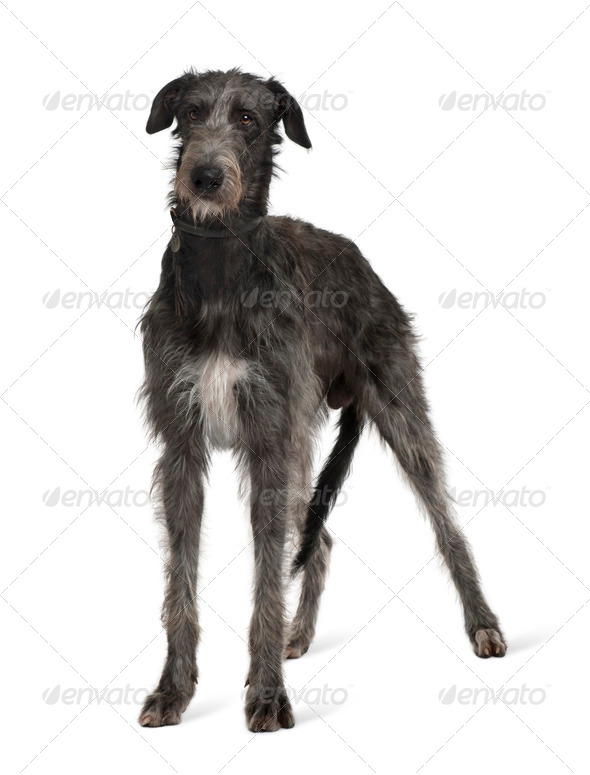 Irish Wolfhound, standing in front of white background - Stock Photo - Images