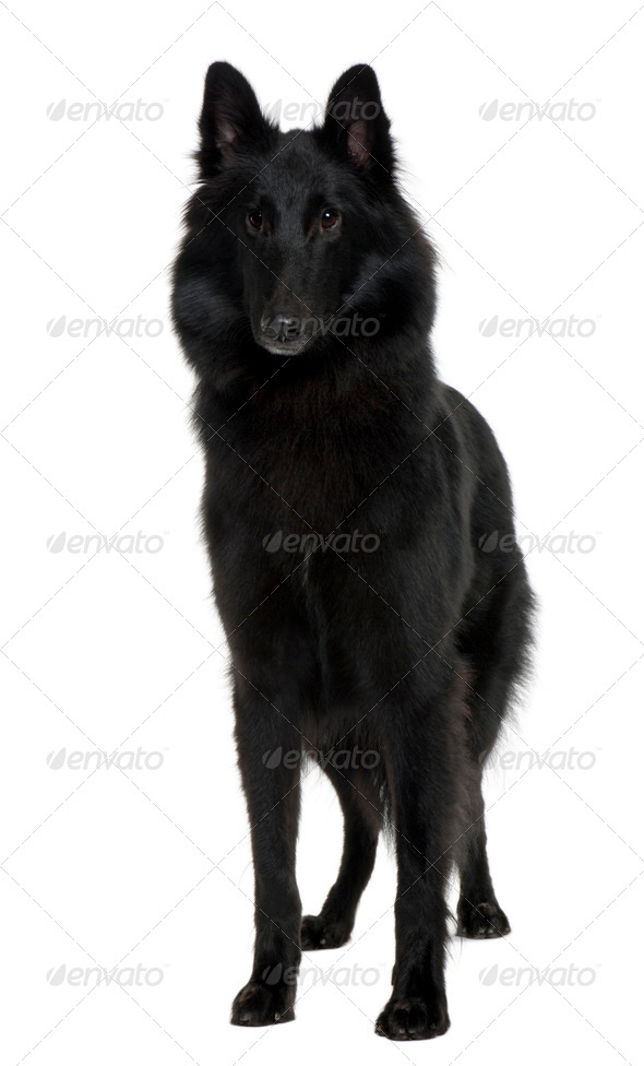 Belgian Shepherd Dog, 1 Year old, standing in front of white background - Stock Photo - Images