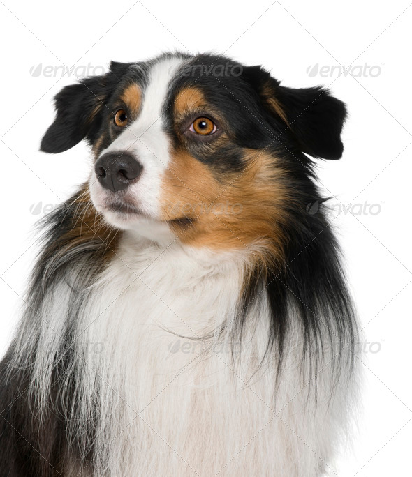 Australian Shepherd dog, 4 Years Old, in front of white background - Stock Photo - Images