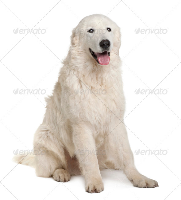 Maremma Sheepdog, 7 Months Old, sitting in front of white background - Stock Photo - Images