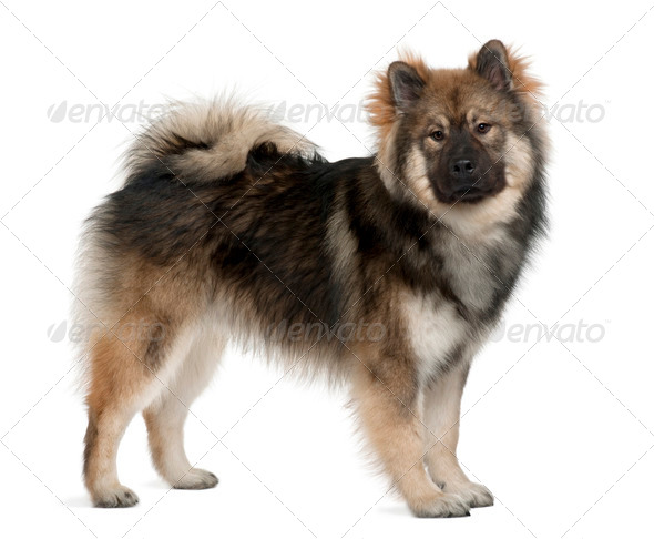Eurasier dog, 1 Year Old, standing in front of white background - Stock Photo - Images