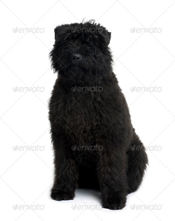 Bouvier des Flandres, 5 months old, sitting in front of white background - Stock Photo - Images