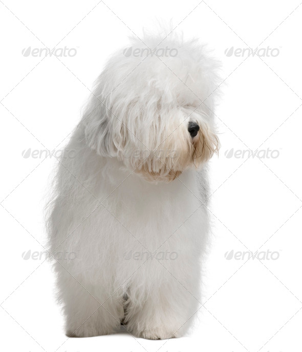Old English Sheepdog, 3 Years old, standing in front of white background - Stock Photo - Images
