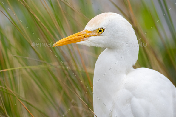 Cattle Egret - Stock Photo - Images