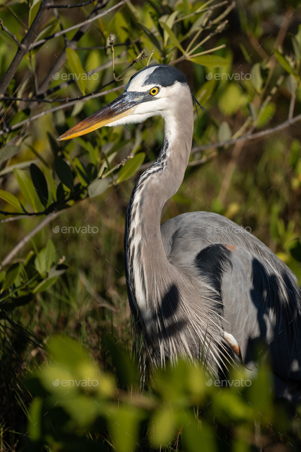 Great Blue Heron - Stock Photo - Images